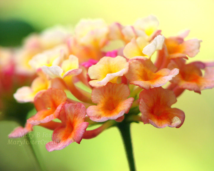 Lantana Flower Photograph Yellow Orange Pink Lime Green Mary Foster Creative