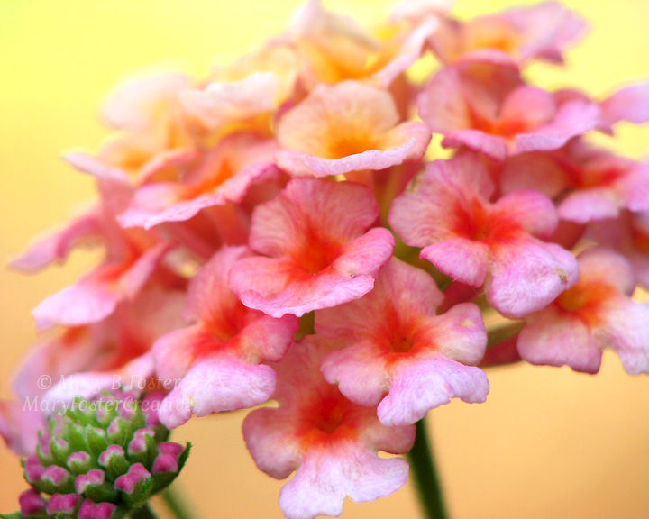 Lantana Flower Photograph Bright Pink Yellow Orange Mary Foster Creative