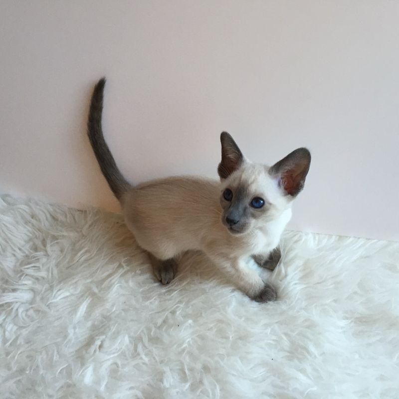All Kittens Collection - ALLUMER SIAMESE